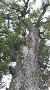 国分日吉神社ご神木上